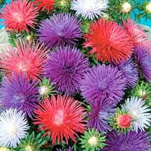 астры - цветы учителю